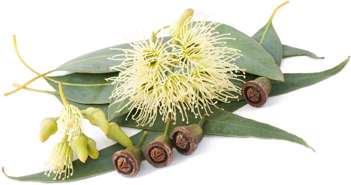 eucalyptus - juliesliberties