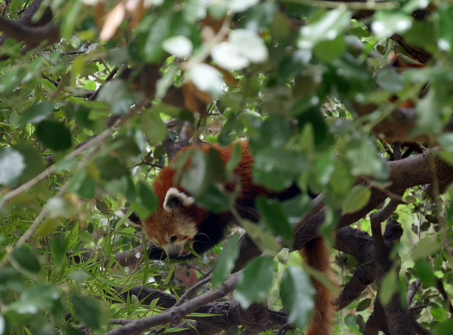 zoo barcelone panda roux - juliesliberties