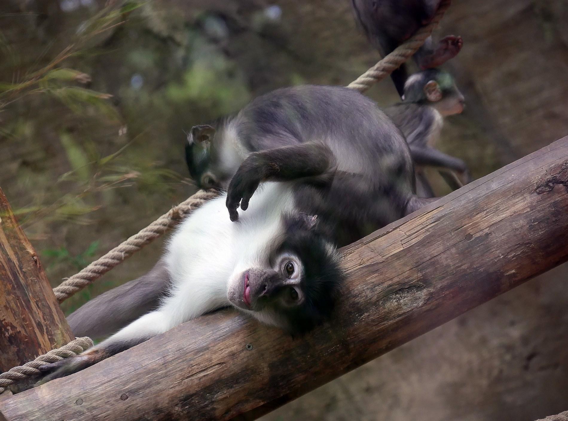 zoo barcelone primate - juliesliberties